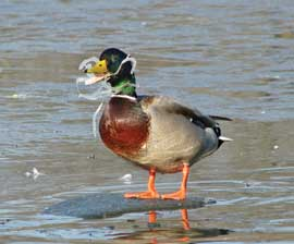 6_pack_duck_270x224